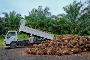 Palmolja utvinns från regnskogar i bland annat Indonesien och Malaysia.